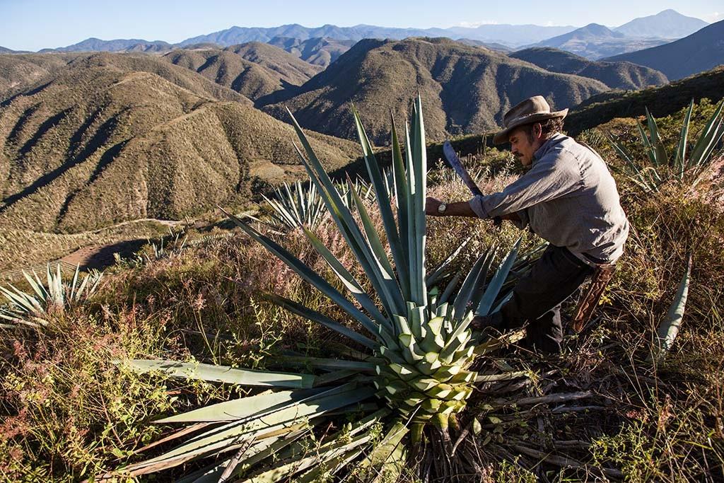 Raccolta dell agave tra i monti isolati dell'Oaxaca.