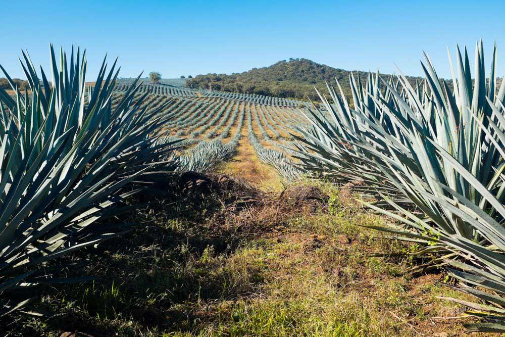 Coltivazioni di agave nella zona di Jalisco.