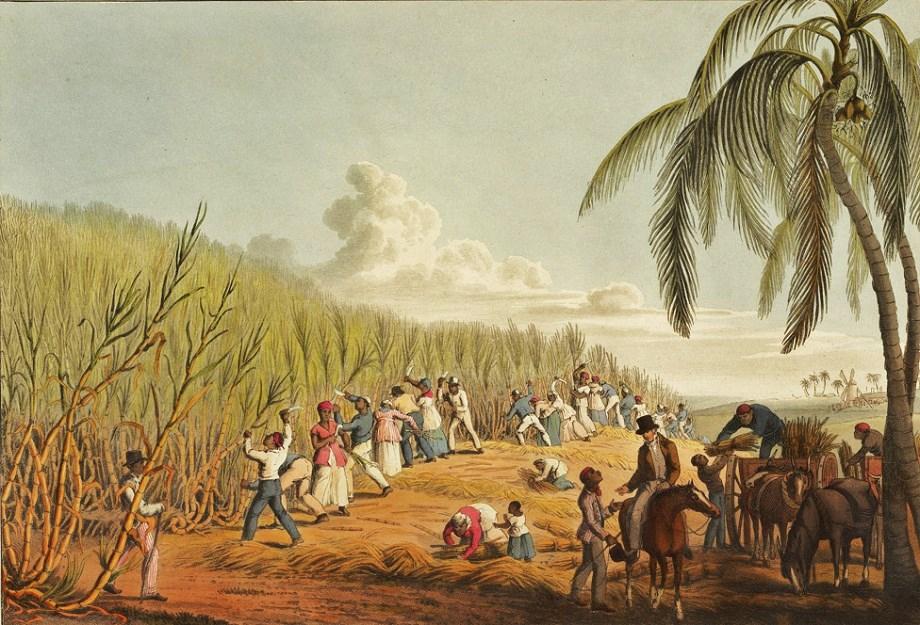 La coltivazione della canna da zucchera in un'illustrazione d'epoca.