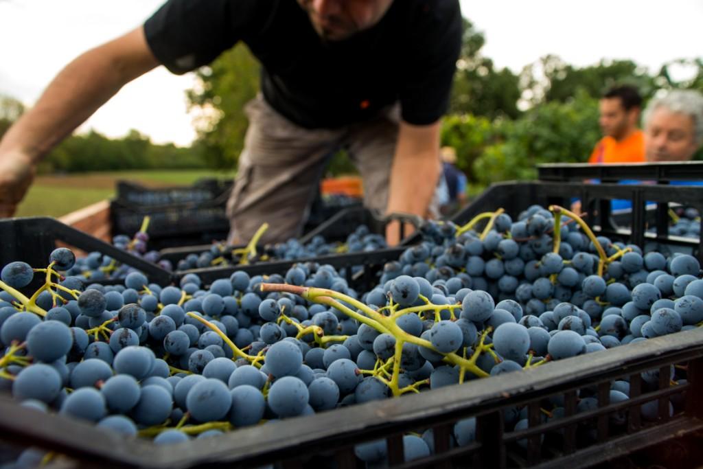 Il lavoro per un buon vino artigianale parte dalla vigna
